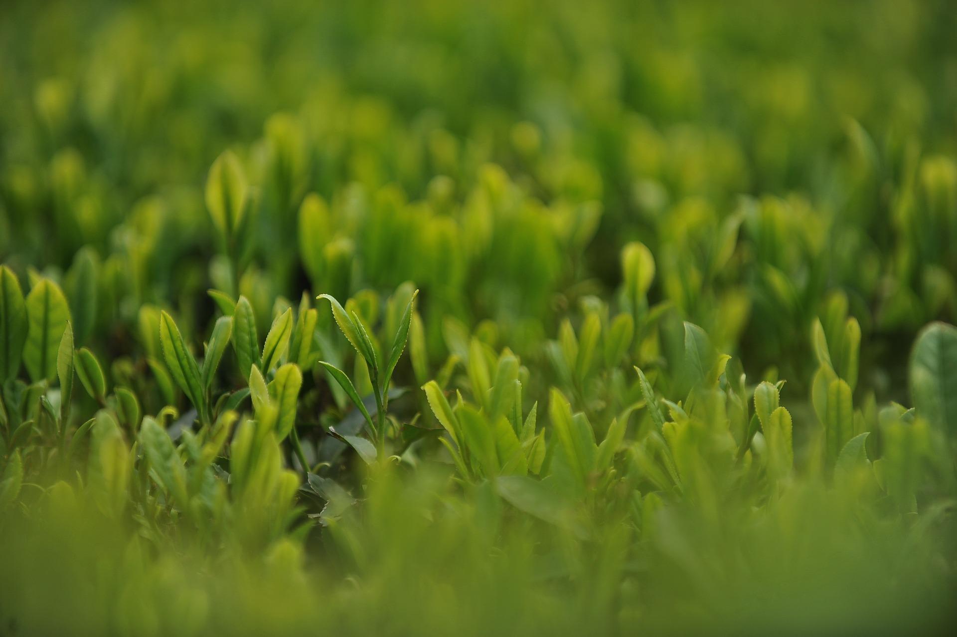http://kouraininjins.info/images/tea-garden-1557700_1920.jpg